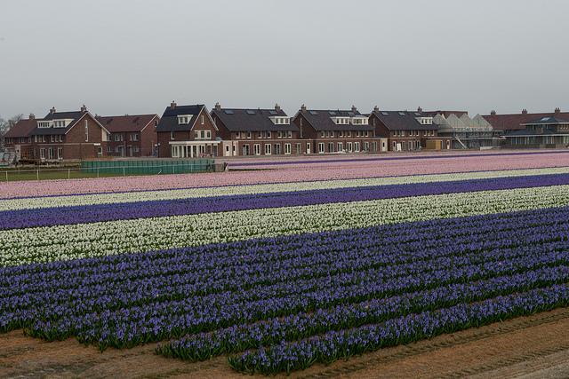 bollenstreek tulips netherlands