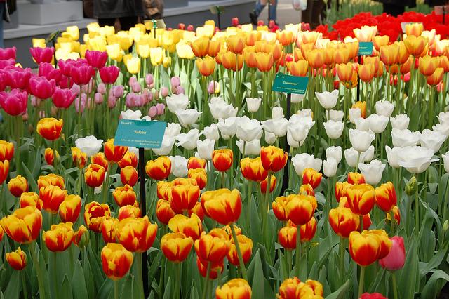 tulips-amsterdam