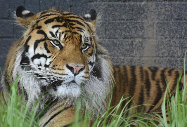 Tiger at London Zoo by Martin Pettitt